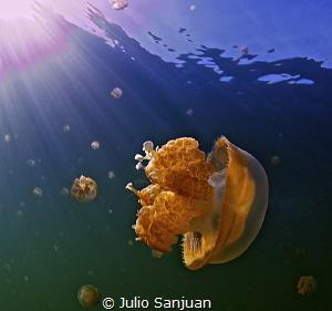 Jellyfish in Jellyfish Lake by Julio Sanjuan