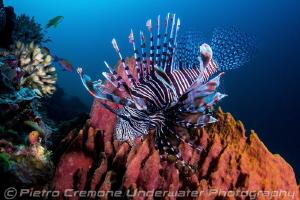 Lionfish on sponge by Pietro Cremone