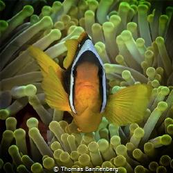 Clownfish at Anemone City - Daedalus Reef  NIKON D7000 ... by Thomas Bannenberg