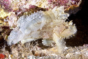 Leaf Scorpion Fish with a venomous veil for protection. by Beat J Korner