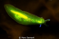 Zebra Sea Slug! This neon green slug was on an off colour... by Marc Damant