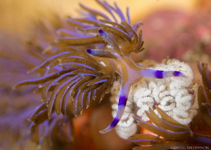 Pteraeolidia ianthina w/- eggs, Bare Island by Doug Anderson