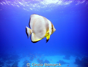 Solitary circular batfin  Platax teira by Cinzia Bismarck