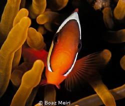 Tomato Clownfish by Boaz Meiri