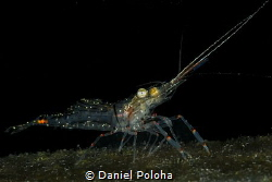 Common shrimp Palaemon affinis by Daniel Poloha
