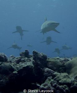 Curious sharks by Steve Laycock