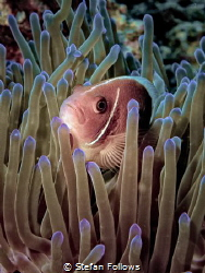 What You Want? Pink Anemonefish - Amphiprion perideraion.... by Stefan Follows