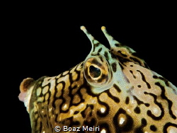 Honeycomb Cowfish by Boaz Meiri