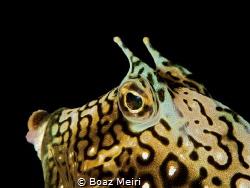Honeycomb Cowfish by Boaz Meiri