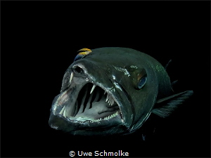 Barracuda in cleaning action by Uwe Schmolke