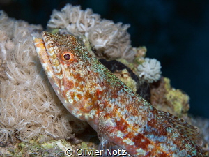 Variegated lizardfish by Olivier Notz