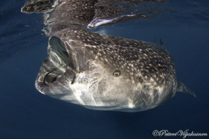 Eye of a whale shark by Petteri Viljakainen