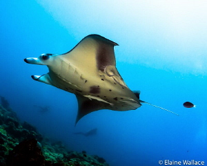 Fly by at a manta cleaning station by Elaine Wallace