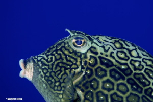 Close-up of a Cow Fish Nikon D80, Ikelite housing + two ... by Margriet Tilstra