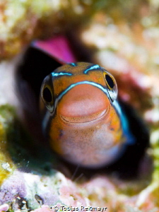 Fangtooth blenny at Hin Daeng by Tobias Reitmayr