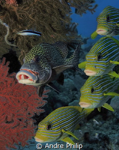 Different sweetlips in a cleaning staion by Andre Philip