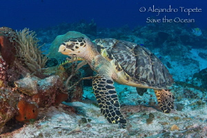 Carey Turtle in the Reef, Cozumel Mexico by Alejandro Topete