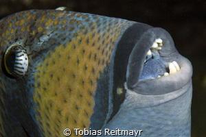 Titan triggerfish, Shark Fin Reef, Similan Islands by Tobias Reitmayr