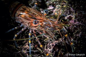 Palaemon shrimp by Marco Gargiulo