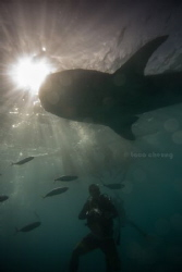 whale shark by Taco Cheung