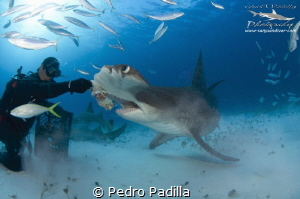 Encounter with the Great Hammerhead Shark by Pedro Padilla