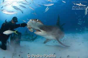 Encounter with the Great Hammerhead Shark by Pedro Padilla