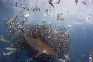 Sardine Run, Transkei Wild Coast!! Close your eyes and im... by Allen Walker