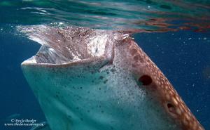 Juvenile whale shark, Cebu Philippines by Paula Booker