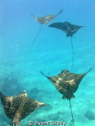 Spotted Eagle Rays by Byant Grady