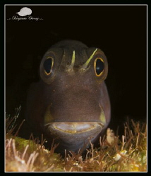Blenny from Batu Bolong, Komodo by Benjamin Choong