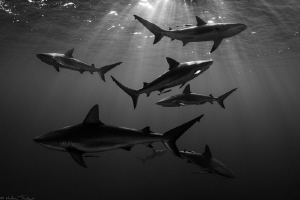 7 Carcharhinus perezi by Mathieu Foulquié
