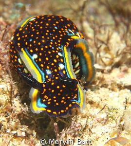 Lovely Hypselodoris agassizii, taken at Cabo Pulmo. by Marylin Batt