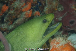 Very large green moray just hanging in the cave, new came... by Jerry Stinnett
