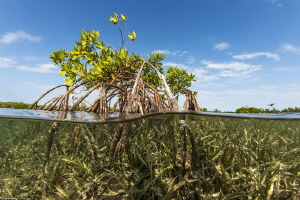 mangrove and seagrass by Mathieu Foulquié