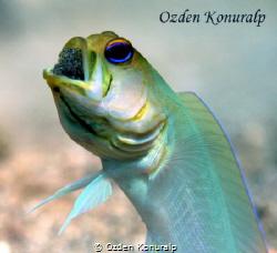 Yellowhead Jawfish - Male Opistognathus aurifrons Panam... by Ozden Konuralp