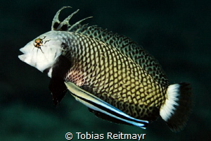 Rockmover wrasse with cleaner, Bida Nok by Tobias Reitmayr