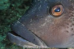 Blue cod Parapercis colias by Daniel Poloha