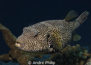 Map Pufferfish by Andre Philip