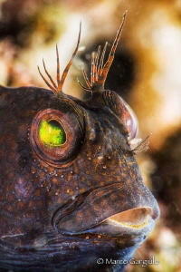 African blenny, black phase by Marco Gargiulo