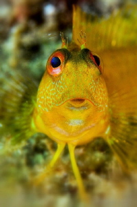 African blenny, yellow phase by Marco Gargiulo
