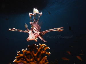 ROAR!!! Pterois Volitans My first time with a stobe! :) by Cinzia Bismarck