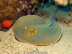 Blue spotted stingray rests on the sand by Laura Dinraths