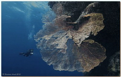 Gorgonian Sea Fan (Subergorgia mollis), Sha'ab Sheer (eas... by Reinhard Arndt