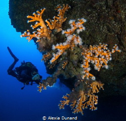 orange coral (Dendrophylia ramea), Alegranza, Canary Islands by Alexia Dunand