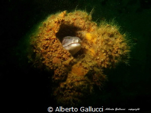 Conger in Paguro wreck by Alberto Gallucci