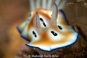 Chromodoris Leopardus. by Mehmet Salih Bilal