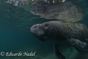 manatee shot by Eduardo Nadal
