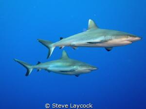 Cruising grey reef shraks by Steve Laycock