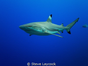 Black  tip reef shark by Steve Laycock