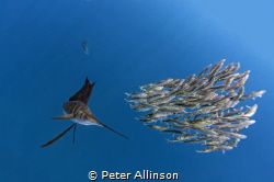 Sailfish hunting sardines about 30-40 miles off the coast... by Peter Allinson
